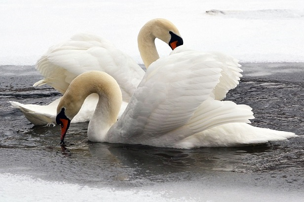 Swans of Lake LaVerne